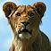 animal-lion