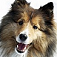 animal-sheepdog