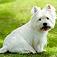 animal-terrier