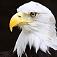 bird-baldeagle