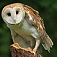 bird-barnowl