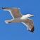 bird-seagull