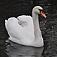 bird-swan