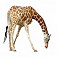 animal-giraffe
