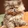 animal-kitten
