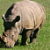 animal-rhino